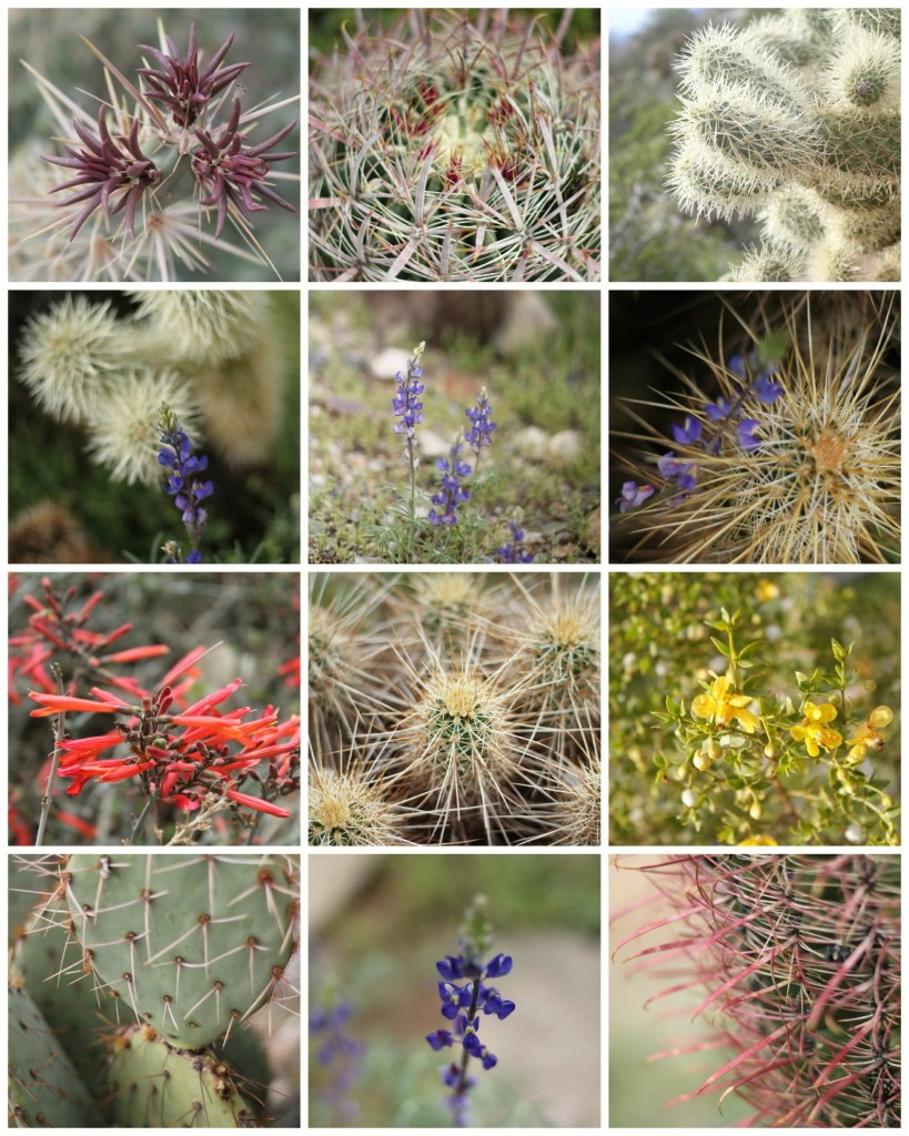 Arizona Desert Flowers