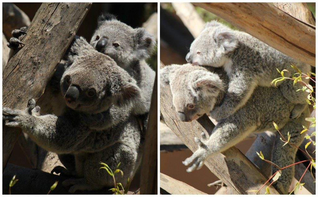 Koalas at the San Diego Zoo