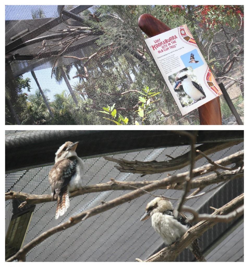 Kookaburras at the San Diego Zoo