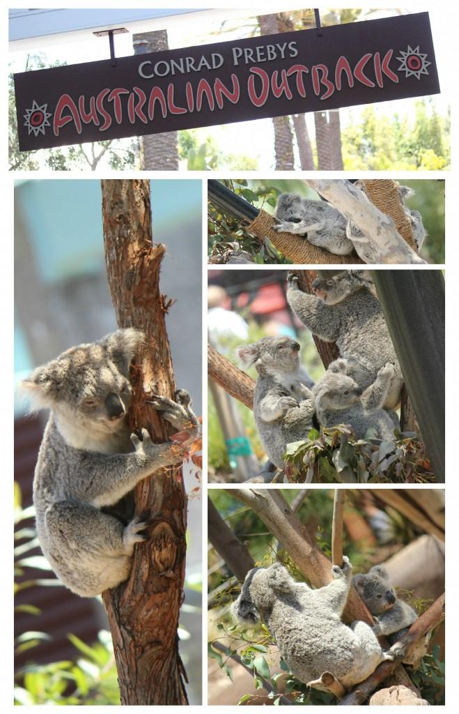San Diego Zoo Koalas