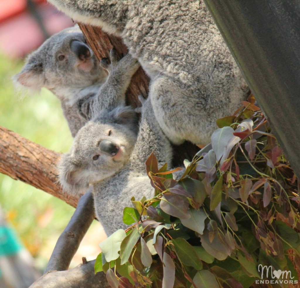 Young koala at the San Diego Zoo