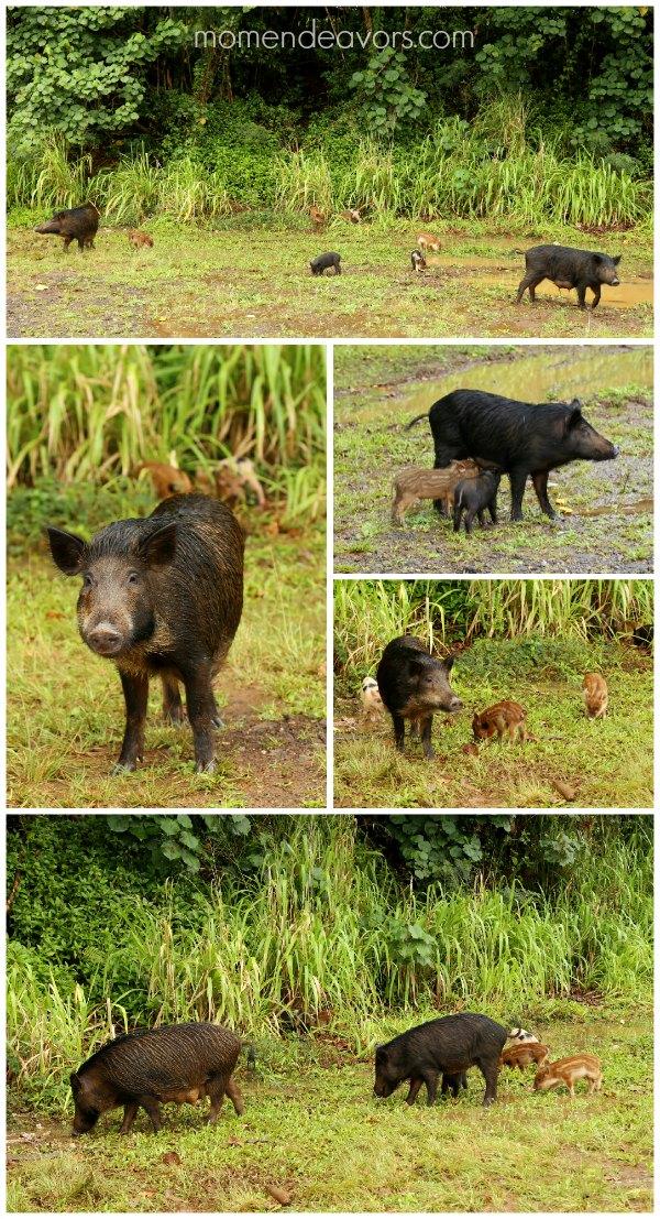 Kauai Wild Pigs