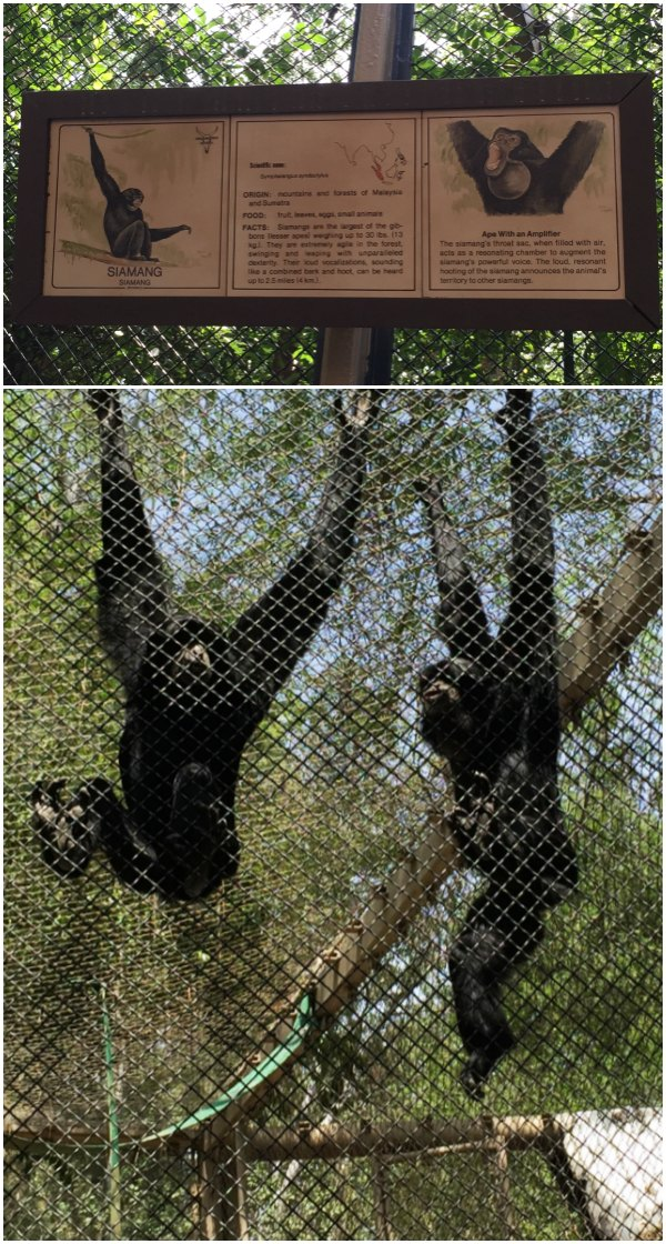 Siamangs LA Zoo