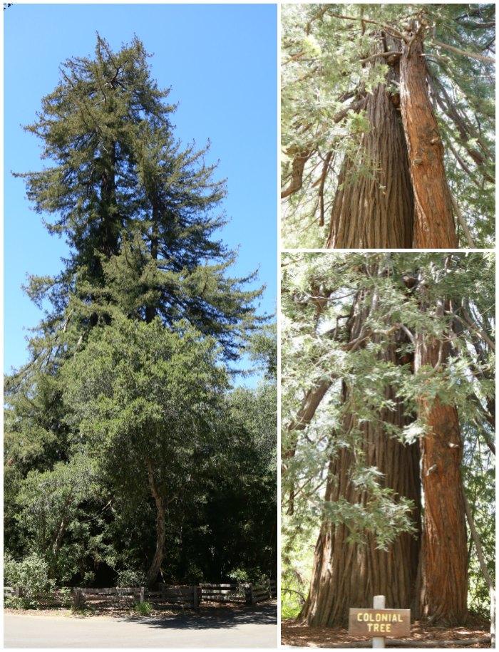 Big Sur Colonial Tree