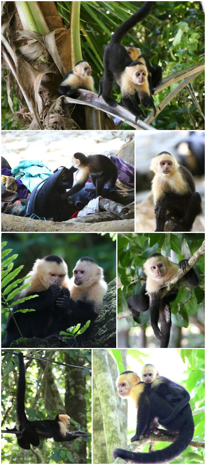 Capuchin Monkeys Costa Rica