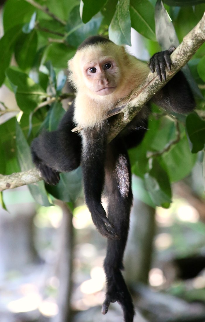 Capuchin Monkey Costa Rica