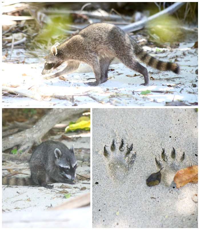 Costa Rica Raccoons