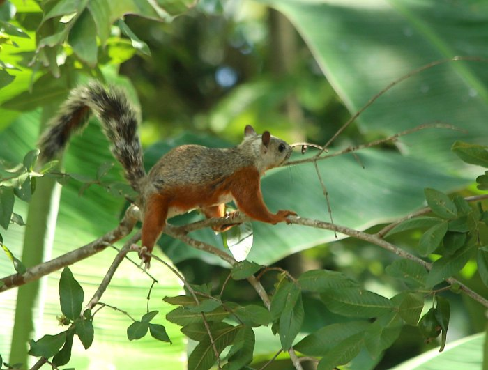 Rainforest Squirrel